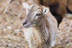 Ritratto di una pecora di muflone del bambino fotografia stock