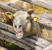 Ritratto di una pecora sveglia Fotografia Stock