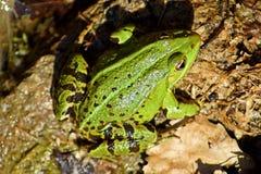 Ritratto di una rana selvaggia verde fotografie stock libere da diritti