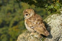 Ritratto di una rapace nei Britannici, campagna BRITANNICA di aluco dello strige di Tawny Owl immagine stock libera da diritti