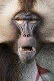 Ritratto di una scimmia Fotografia Stock Libera da Diritti