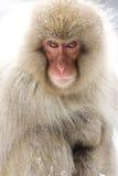 Ritratto di una scimmia della neve Immagini Stock
