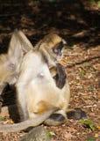Ritratto di una scimmia di ragno Immagini Stock