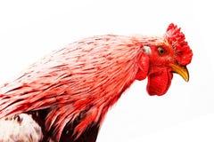 Ritratto di una testa del ` s del gallo Isolato su priorità bassa bianca Gallo del fuoco rosso Fotografia Stock
