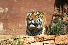 Ritratto di una tigre Fotografia Stock Libera da Diritti