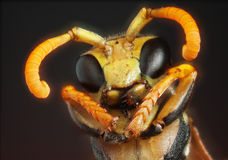 Ritratto di una vespa immagini stock