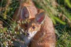 Ritratto di una volpe rossa, vulpes di vulpes Fotografia Stock