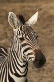 Ritratto di una zebra Fotografia Stock Libera da Diritti