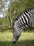 Ritratto di una zebra che pasce. Fotografie Stock