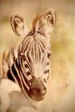 Ritratto di una zebra comune nel tono d'annata di seppia Fotografia Stock