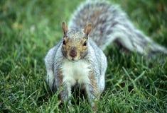 Ritratto di uno scoiattolo Immagine Stock Libera da Diritti