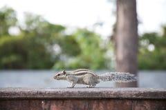 Ritratto di uno scoiattolo Fotografie Stock Libere da Diritti