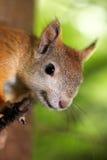 Ritratto di uno scoiattolo curioso Immagini Stock