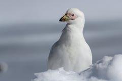 Ritratto di uno Snowy Sheathbill che sta nell'inverno della neve Fotografia Stock