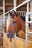 Ritratto di uno stallone marrone Fotografia Stock