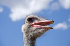 Ritratto di uno struzzo maschio Immagini Stock Libere da Diritti