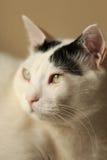 Ritratto di Van Cat del turco fotografie stock