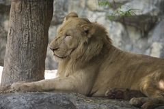Ritratto di vecchia seduta del leone Immagine Stock