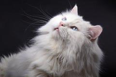 Ritratto di vecchio gatto. Fotografie Stock Libere da Diritti