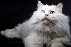 Ritratto di vecchio gatto. Immagini Stock Libere da Diritti