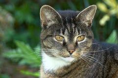 Ritratto di vecchio gatto Fotografie Stock Libere da Diritti