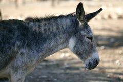 Ritratto di vista laterale di profilo dell'asino nel colore grigio Fotografie Stock Libere da Diritti