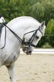 Ritratto di vista laterale di un cavallo grigio di dressage durante il outd di addestramento Immagini Stock Libere da Diritti