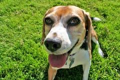 Ritratto divertente del cane da lepre Fotografie Stock