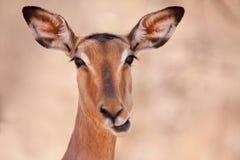 Ritratto divertente dell'impala fotografia stock