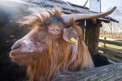 Ritratto divertente della capra Fotografie Stock