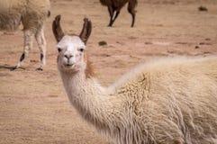 Ritratto divertente di Lama Alpaca in altiplano Fotografia Stock Libera da Diritti