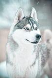 Ritratto domandantesi bianco di grey del cane del husky siberiano e nel prato della neve Immagini Stock