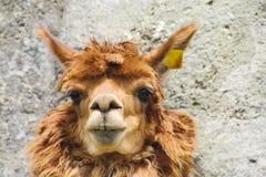 Ritratto domestico della lama Immagine Stock Libera da Diritti