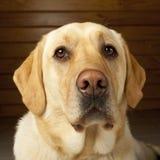 Ritratto dorato del Labrador Fotografie Stock