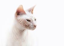 Ritratto emozionale del gatto della Sfinge Immagine Stock