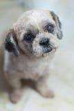 Ritratto felice del cane di tzu dello shih Immagini Stock Libere da Diritti