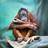 Ritratto femminile dell'orangutan Fotografia Stock