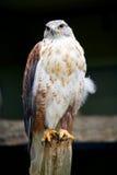 Ritratto ferruginoso del falco Fotografie Stock Libere da Diritti