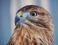 Ritratto fiero del buteo del falco Fotografia Stock