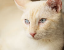 Ritratto giallo del gatto Fotografia Stock