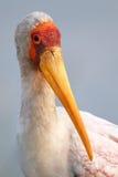 ritratto Giallo-fatturato della cicogna fotografia stock