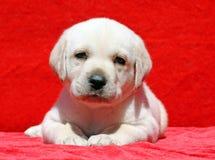 Ritratto giallo felice del cucciolo di labrador su rosso Fotografia Stock