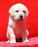 Ritratto giallo piacevole del cucciolo di labrador su rosso Fotografia Stock Libera da Diritti