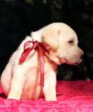 Ritratto giallo piacevole del cucciolo di labrador su rosso Fotografia Stock