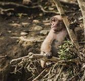 Ritratto giapponese del macaco Fotografia Stock Libera da Diritti