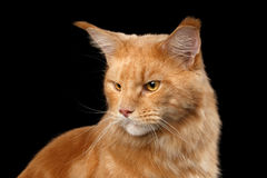 Ritratto Ginger Maine Coon Cat Isolated del primo piano su fondo nero Fotografie Stock