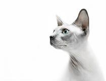 Ritratto glabro della sfinge del gatto Fotografia Stock