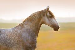 Ritratto grigio del cavallo Immagini Stock Libere da Diritti