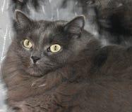 Ritratto grigio del gatto Immagini Stock Libere da Diritti
