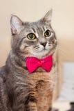 Ritratto grigio del gatto domestico Immagini Stock